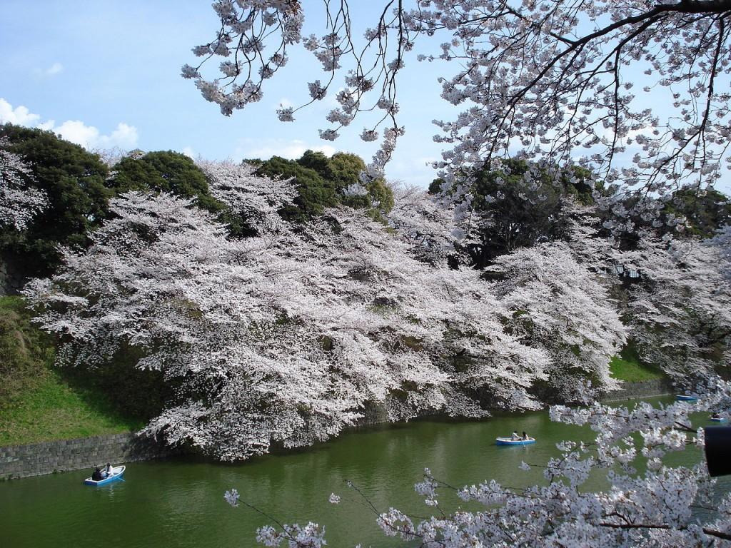 Chidorigafuchi Sakura Tokyo