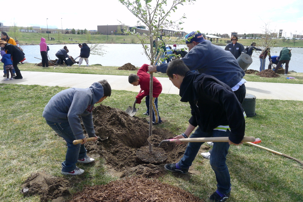 Volunteers plant cherry blossom trees in a Denver aprk